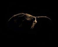 Skeleton birds in flight on black background Royalty Free Stock Photos