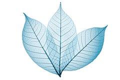 Skeleton Blätter Stockbild