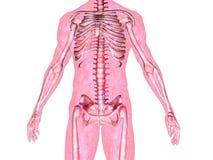 Skeleton_Body. Anatomically correct 3D model of human body isolated on white background Royalty Free Stock Photography