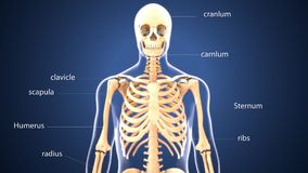 3d illustration of human body skeleton anatomy. The skeleton is the body part that forms the supporting structure of an organism. There are several different Royalty Free Stock Image