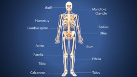 3d illustration of human body skeleton anatomy. The skeleton is the body part that forms the supporting structure of an organism. There are several different Royalty Free Stock Photos