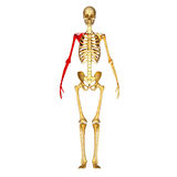 Skeleton Bones of the Arm and Hand vector illustration