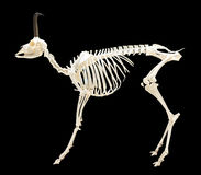Skeleton of chamois over black Royalty Free Stock Photography