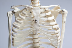 Skeleton chest Stock Photos
