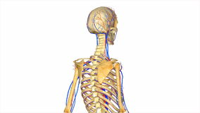 Skeleton with circulatory system. The Circulatory System is responsible for transporting materials throughout the entire body. It transports nutrients, water stock illustration