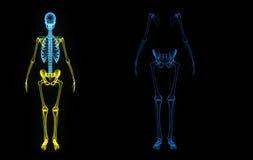 Skeleton Royalty Free Stock Images