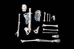 Skeleton composition. Skeleton composition isolated on black background Royalty Free Stock Images