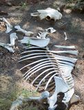 Skeleton of cow Stock Photos