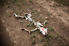 Skeleton of a cow in desert Stock Photo