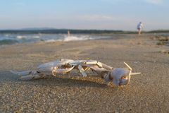 Skeleton of crab on beach Royalty Free Stock Photo