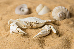 Skeleton of  crab and seashells on sand Stock Photography