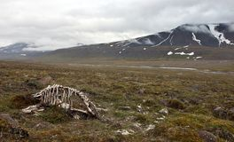 Skeleton of dead reindeer in arctic tundra Stock Photography