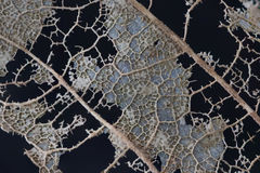 Skeleton of a decaying leaf Stock Image