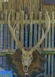 Skeleton of deer head Stock Image