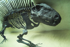 The skeleton of a dinosaur, prehistoric fossil, close-up Royalty Free Stock Images
