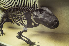 The skeleton of a dinosaur, prehistoric fossil, close-up Royalty Free Stock Photos