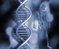 Skeleton with DNA strands Royalty Free Stock Photo