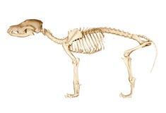 Skeleton of dog. On isolated white background royalty free stock images