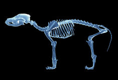 Skeleton of dog Stock Photos