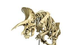 Skeleton Dinosaurs Triceratops. Skeleton Famous Dinosaurs of Cretaceous name Triceratops isolated on white background Royalty Free Stock Photos