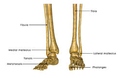 Skeleton feet Stock Photography