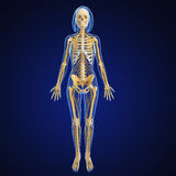 Skeleton of Female full body nervous system Stock Photo