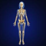 Skeleton of Female full body nervous system. 3d art illustration of Skeleton of Female full body nervous system Stock Photo