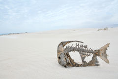 Skeleton of a fish in the desert Royalty Free Stock Image