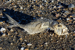 Skeleton Fish on the Sand Stock Image