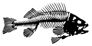 Skeleton of fish. Skeleton of big predatory sea fish Stock Photo