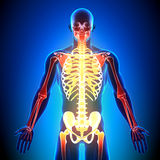 Skeleton Front - Anatomy Bones. Medical imaging Royalty Free Stock Photos