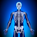 Skeleton Front - Anatomy Bones Royalty Free Stock Photo