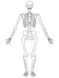 Skeleton: Front View Royalty Free Stock Image