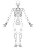 Skeleton: Front View stock illustration