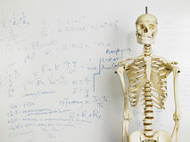 Skeleton In Front Of Whiteboard Royalty Free Stock Photos