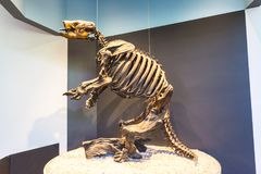 Ground Sloth Skeleton. Skeleton of a giant ground sloth reconstructed at the La Brea Tar Pits museum in Los Angeles royalty free stock images