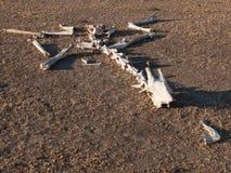 Skeleton of giraffe on ground Stock Images