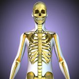 3d illustration of human body skeleton anatomy. The skeleton from Greek σκελετός, skeletós `dried up`[1] is the body part that forms the supporting Royalty Free Stock Photos