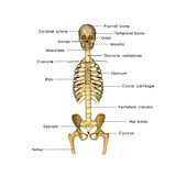 Skeleton half. He human skeleton is the internal framework of the body. It is composed of 270 bones at birth – this total decreases to 206 bones by adulthood Stock Image