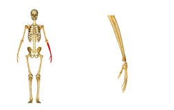 Skeleton: hand bone Stock Photography