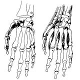 Skeleton of the hand and fingers Stock Image