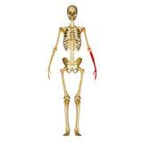 Skeleton hand Royalty Free Stock Photo