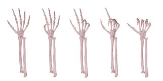 Skeleton hands counting 1-5 stock image