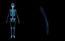 Skeleton hands Royalty Free Stock Image