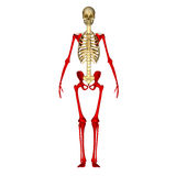 Skeleton hands and legs Stock Photo