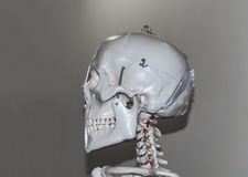 Skeleton head Stock Images