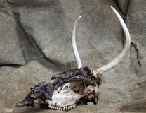 Skeleton Head of Spike Deer Royalty Free Stock Photos