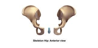 Skeleton hip Anterior view royalty free illustration