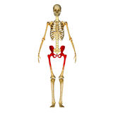 Skeleton hip Stock Photos