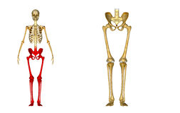 Skeleton: Hip, Femur, Tibia, Fibula, Ankle and Foot bones royalty free stock photography